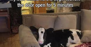 Funny Cow Memes - fridayfrivolity cow funnies funny and cute cow memes for cow