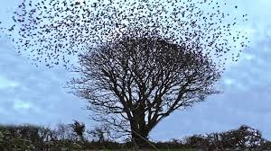 starling murmuration the exploding tree birds flying filmed in