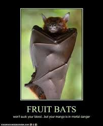 Mango Meme - fruit bats won t suck your blood but your mango is in mortal danger