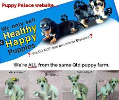 australian shepherd puppies queensland puppy palace brisbane queensland australia pet store pet