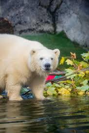 Zoo Lights Salt Lake City by Polar Bear Nora Arrives At Hogle Zoo Deseret News