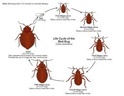 Bed Bugs In Mattress Bed Bugs Big Valley Termite And Pest Control Inc