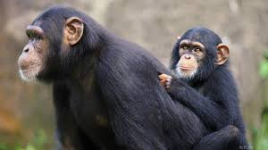 bbc earth is your toddler really smarter than a chimpanzee