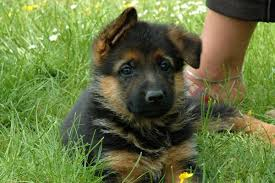 belgian shepherd rescue dogs belgian shepherd groenendael puppies funny puppy u0026 dog pictures
