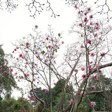 pink flower tree sf s gorgeous annual magnolia bloom sf botanical garden