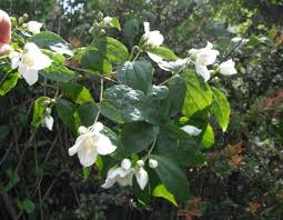 idaho native plants lewis u0027 mock orange philadelphus lewisii native plants pnw