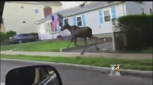 tv guide watertown ny moose on the loose spotted running through watertown belmont