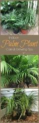 best 25 palm plants ideas on pinterest palm house plants