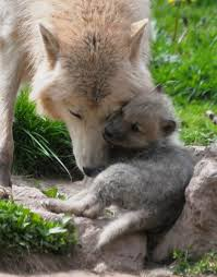 polar wolf spotted nuzzling with pups