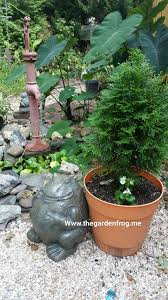 container gardening gardening with arborvitaes for year round interest