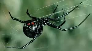 Black Widow Spiders Had A - how to tell the difference between a black widow spider and a