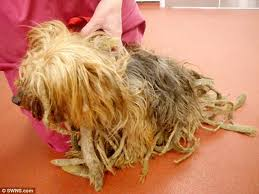 dog owner banned for life after yorkshire terrier neglect daily