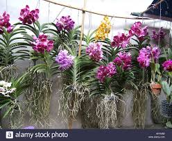 orchids for sale in the chatuchak market thailand asia stock photo