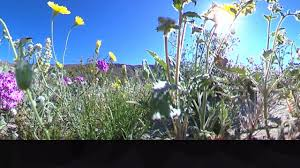 anza borrego desert state park wildflowers youtube