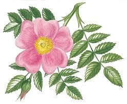 sketch of rose rose sketch rose sketches rose sketch drawings