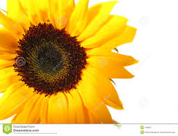single sun flower wallpapers images of sunflower wallpaper area sc