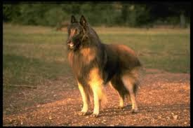 belgian sheepdog dogs 101 belgian tervuren puppies and dogs for sale in usa