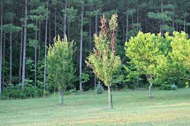 gardening in the of virginia blight in pear trees