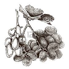 vector illustration grape cluster with leaves royalty free