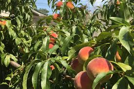 Apple Tree In My Backyard Not All Foraged Fruit Is Created Equal U2014 Liz Vogel
