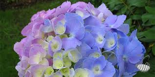 hydrangea flowers hydrangea colors hydrangea varieties plants wedding flowers