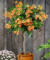 buy ornamental shrubs now campsis trumpet vine u0027indian summer