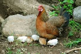 Chickens For Backyard Keeping Backyard Chickens For Profit Raising Free Range Chickens