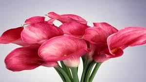 pink calla pink calla walldevil