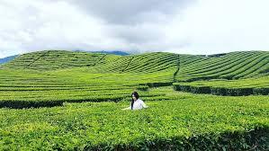 Teh Kayu Aro inilah perkebunan teh kayu aro jambi yang sangat mempesona di