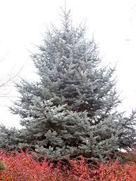 blue spruce hoop s blue spruce monrovia hoop s blue spruce