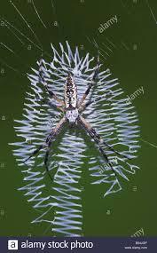 yellow garden spider argiope aurantia in web sinton corpus