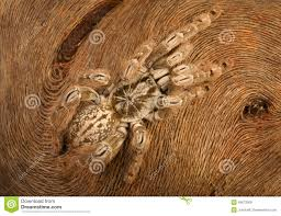 ornamental baboon tarantula stock photo image 49673309
