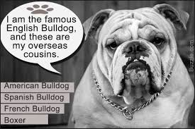Do English Bullmastiffs Shed by Fast Facts About The Different Breeds Of Bulldogs With Pictures