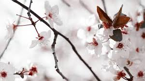 homelife plant guide cherry plum blossoms