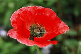 poppy flower varieties