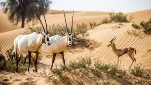 safari dubai desert safaris getyourguide