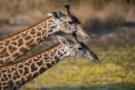 giraffe here u0027s why wild giraffes are potentially facing extinction