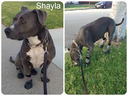 american pitbull terrier heat cycle customer testimonials and product reviews dog quality