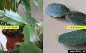 easter cactus gullu