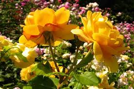 how to identify rose variety like a flower expert