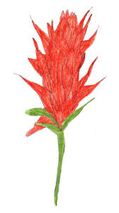 indian paintbrush flower how to draw an indian paintbrush 8 steps with pictures