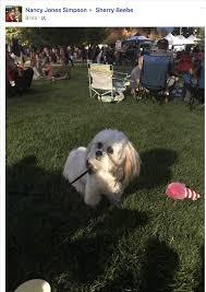 ozzie a bichon frise bb u0027s canine social club home