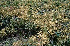 Tropical Plant Diseases - tropical plant disease papaya ringspot virus stock photo
