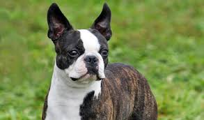 pictures of a american eskimo dog boston terrier dog breed information