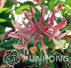 Tropical Climbing Plant - hall u0027s japanese honeysuckle seeds liana aromatic flower