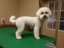 bichon frise breed standard bichon frise pet trim short bichon haircut bichon groom otis