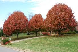 pyrus cal bradford ornamental pear leafland