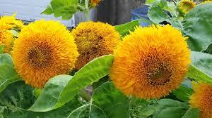 teddy sunflowers sunflower teddy