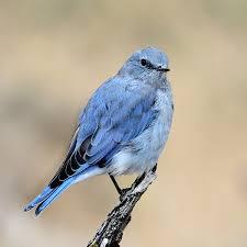 Nevada birds images Nevada department of wildlife jpg