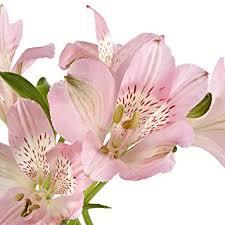 peruvian lilies eflowy 80 light pink alstroemerias peruvian
